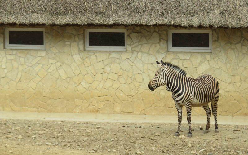 Zebra im Zoo Bojnice
