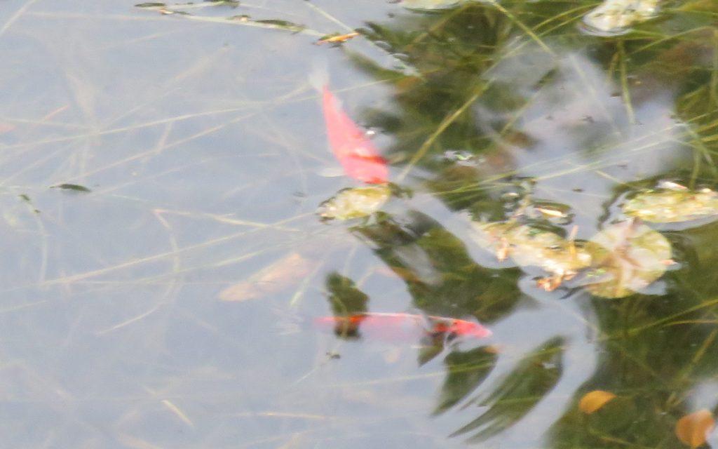 Červená Studňa Tajch – Fische